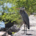 Great Blue Heron on the breakwater